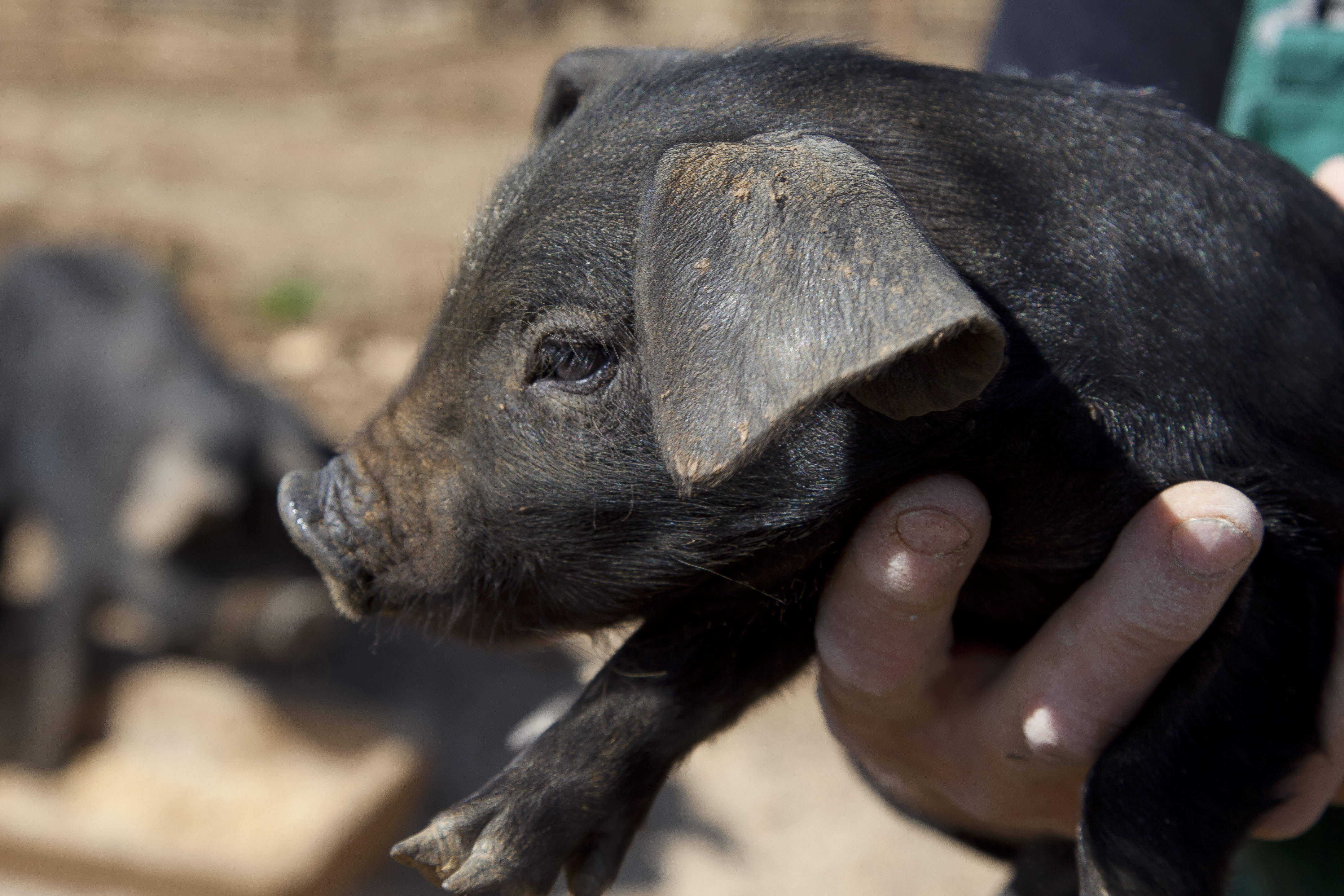 """Résultat de recherche d'images pour """"porc gascon"""""""